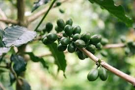 Green Coffee- के फायदे, सामग्री, रचना